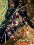 Caribbean coral reef. Coral reef in Carbiiean Sea Coral banded shrimp stock photo