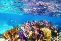 Caribbean coral reef Mayan riviera colorful. Species underwater treasure Royalty Free Stock Image