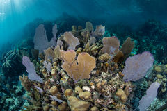 Caribbean Coral Reef in Shallow Water Stock Photography