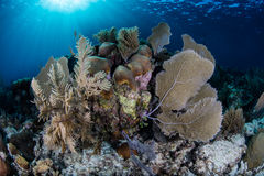 Caribbean Coral Reef. Sunlight shines down on a beautiful reef in the Caribbean Sea. This beautiful tropical region is a popular destination for divers Royalty Free Stock Photo