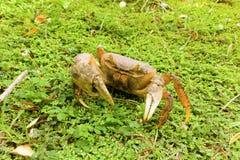 A caribbean crab Royalty Free Stock Photo