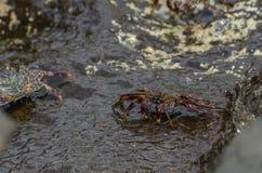 Caribbean Crab Stock Image