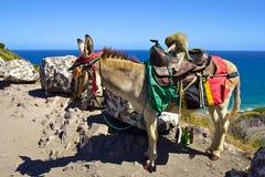 Caribbean donkey, St Kitts and Nevis, Caribbean Royalty Free Stock Image