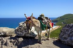 Caribbean donkey, St Kitts and Nevis Royalty Free Stock Image