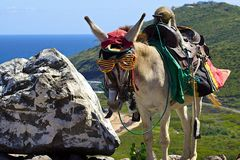 Caribbean donkey, St Kitts and Nevis Stock Photography