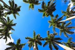 Caribbean fan palms against the sky Royalty Free Stock Images