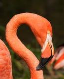 Caribbean flaming bird portrait Stock Photography