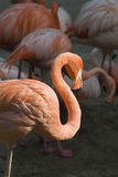 Caribbean Flamingo. In the morning sun, in the background  Chilean Flamingo Stock Image