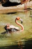 Caribbean Flamingo Royalty Free Stock Photo