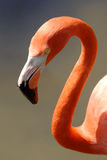 Caribbean Flamingo. Bright flamingo with long curved neck Royalty Free Stock Photos