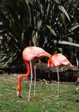 Caribbean flamingo Royalty Free Stock Photography