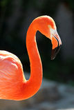 Caribbean flamingo royalty free stock images