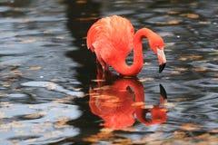 Caribbean flamingo Royalty Free Stock Image