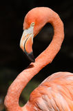 Caribbean flamingo Royalty Free Stock Images