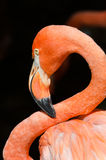 Caribbean flamingo Stock Images