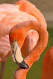 Caribbean Flamingo Curled Neck Royalty Free Stock Images