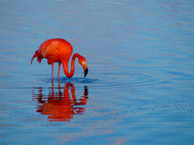 Caribbean Flamingo feeding on the Gotomeer, Bonaire, Dutch Antilles. Caribbean Flamingo reflected in the blue waters of the Gotomeer as it feeds in the early stock photography