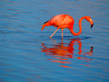 Caribbean Flamingo feeding on the Gotomeer, Bonaire, Dutch Antilles. Caribbean Flamingo reflected in the blue waters of the Gotomeer as it feeds in the early royalty free stock photo