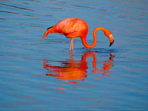 Caribbean Flamingo feeding on the Gotomeer, Bonaire, Dutch Antilles. Caribbean Flamingo reflected in the blue waters of the Gotomeer as it feeds in the early stock images