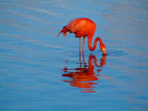 Caribbean Flamingo feeding on the Gotomeer, Bonaire, Dutch Antilles. Caribbean Flamingo reflected in the blue waters of the Gotomeer as it feeds in the early royalty free stock photography