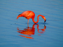 Caribbean Flamingo feeding on the Gotomeer, Bonaire, Dutch Antilles. Caribbean Flamingo reflected in the blue waters of the Gotomeer as it feeds in the early royalty free stock image