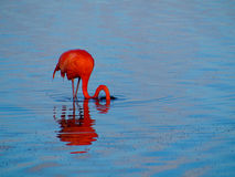 Caribbean Flamingo feeding on the Gotomeer, Bonaire, Dutch Antilles. Caribbean Flamingo reflected in the blue waters of the Gotomeer as it feeds in the early royalty free stock images