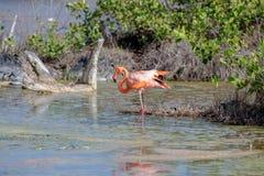 CARIBBEAN FLAMINGO, GALAPAGOS ISLANDS Stock Photos