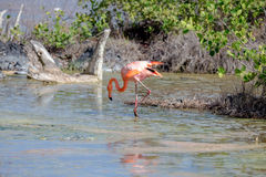 CARIBBEAN FLAMINGO, GALAPAGOS ISLANDS Royalty Free Stock Photography
