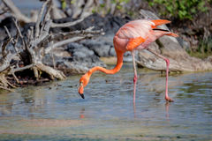 CARIBBEAN FLAMINGO, GALAPAGOS ISLANDS Royalty Free Stock Photo