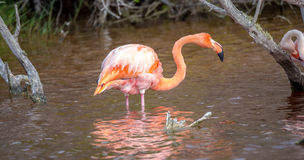 CARIBBEAN FLAMINGO, GALAPAGOS ISLANDS Stock Photography