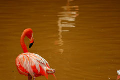 Caribbean flamingo looking. A caribbean flamingo looking at the water.  This image was captured at the national zoo in KL Royalty Free Stock Photos