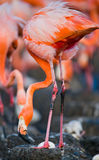 Caribbean flamingo on a nest with chicks. Cuba. An excellent illustration Royalty Free Stock Image