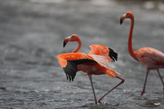 Caribbean Flamingo (Phoenicopterus ruber) Royalty Free Stock Images