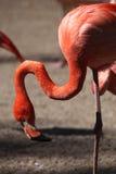 Caribbean flamingo (Phoenicopterus ruber) Royalty Free Stock Photo