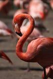 Caribbean flamingo (Phoenicopterus ruber) Stock Photos