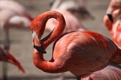 Caribbean flamingo (Phoenicopterus ruber) Royalty Free Stock Image