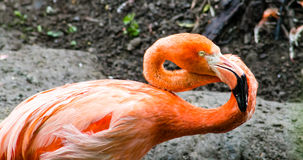 Caribbean Flamingo Royalty Free Stock Photo