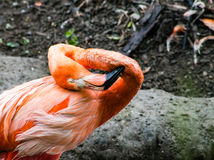 Caribbean Flamingo Stock Photos