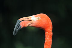Caribbean flamingo (Phoenicopterus ruber ruber) Stock Photos