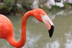 Caribbean flamingo portrait Stock Photography