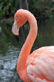 Caribbean Flamingo Portrait Royalty Free Stock Photos