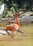 Caribbean Flamingo Royalty Free Stock Photography