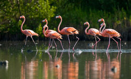 Free Caribbean Flamingo Standing In Water With Reflection. Cuba. Royalty Free Stock Photo - 77504315