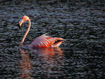 Caribbean Flamingo swimming on the Gotomeer, Bonaire, Dutch Antilles. Caribbean Flamingo reflected in black water as it swims across the Gotomeer, Bonaire stock image