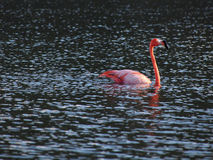 Caribbean Flamingo swimming on the Gotomeer, Bonaire, Dutch Antilles. Caribbean Flamingo reflected in black water as it swims across the Gotomeer, Bonaire stock photos