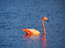 Caribbean Flamingo swimming on the Gotomeer, Bonaire, Dutch Antilles. Caribbean Flamingo reflected in blue water as it swims across the Gotomeer, Bonaire, Dutch royalty free stock photography