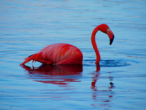Caribbean Flamingo swimming on the Gotomeer, Bonaire, Dutch Antilles. Caribbean Flamingo reflected in blue water as it swims across the Gotomeer, Bonaire, Dutch stock photography