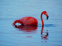 Caribbean Flamingo swimming on the Gotomeer, Bonaire, Dutch Antilles. Caribbean Flamingo reflected in blue water as it swims across the Gotomeer, Bonaire, Dutch stock image