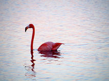 Caribbean Flamingo swimming on the Gotomeer, Bonaire, Dutch Antilles. Caribbean Flamingo reflected in pink water as it swims across the Gotomeer, Bonaire, Dutch stock photos
