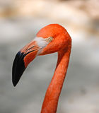 Caribbean Flamingo in Yucatan Stock Images